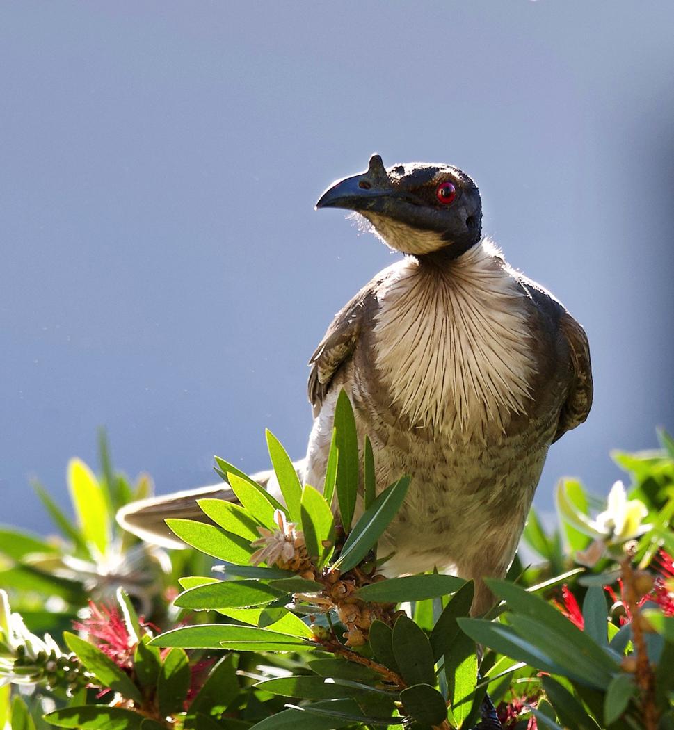 Noisy Friarbird (Image ID 31573)