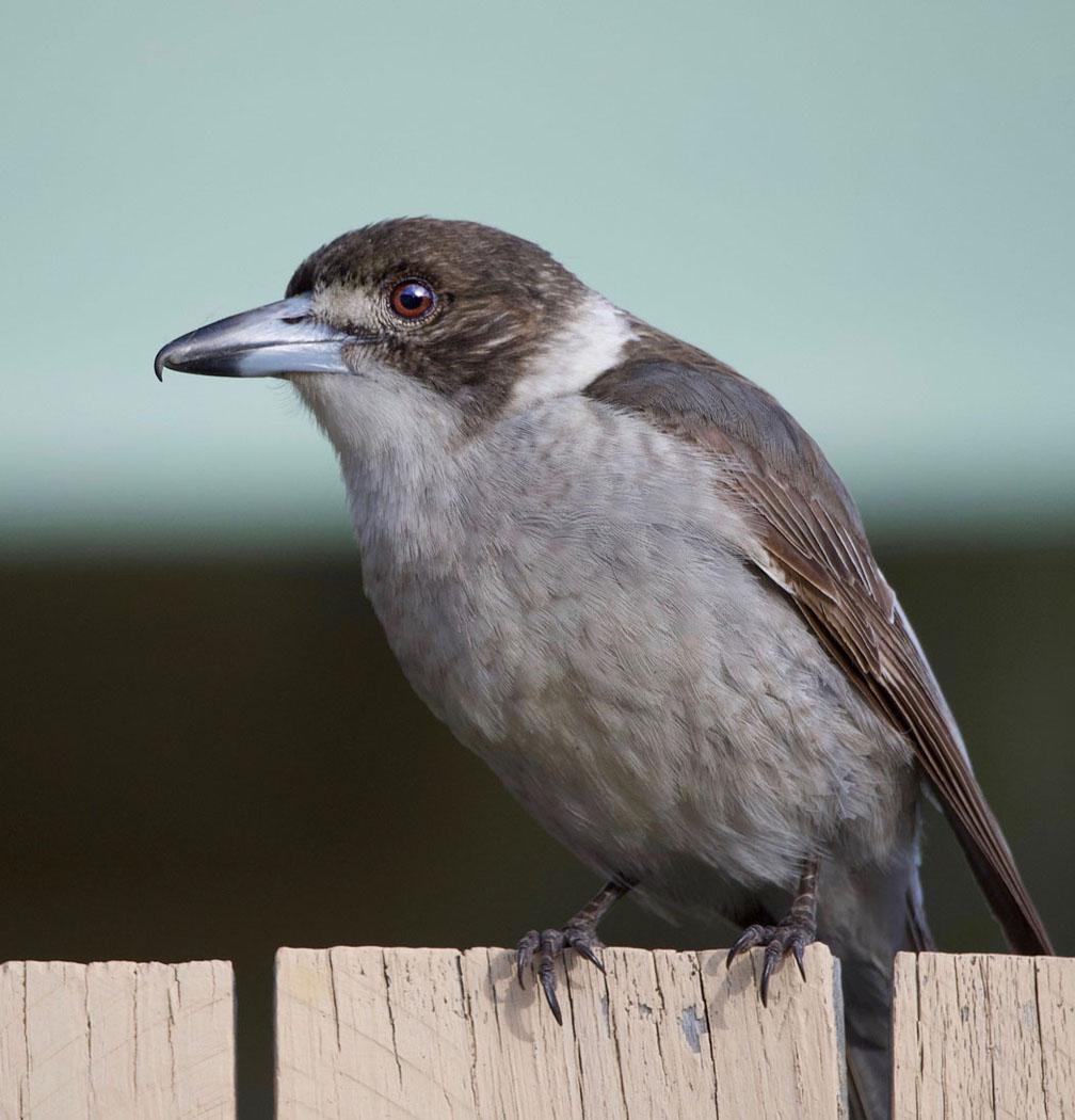Grey Butcherbird (Image ID 31574)
