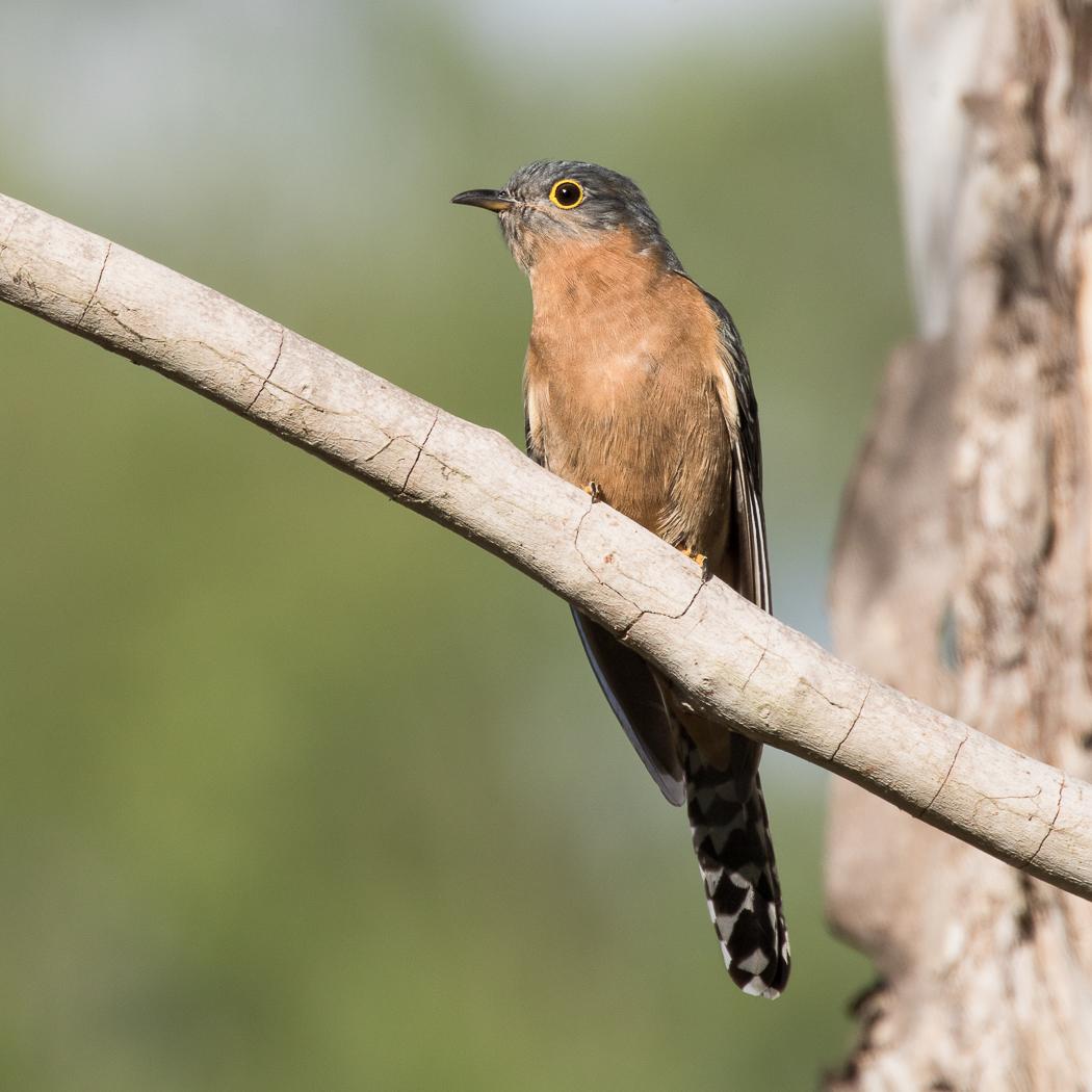 Fan-tailed Cuckoo (Image ID 31547)