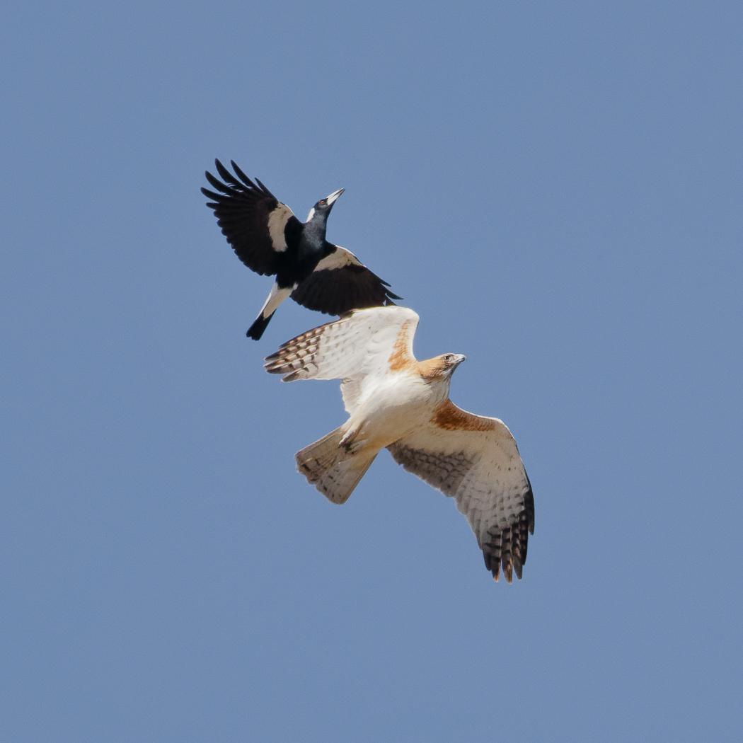 Little Eagle,Australian Magpie (Image ID 31595)