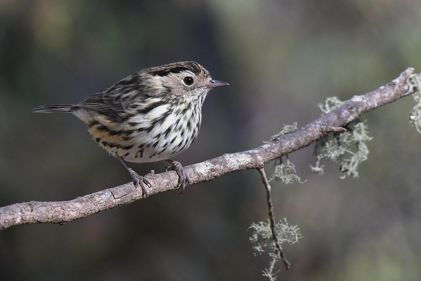 Speckled Warbler (Image ID 31285)