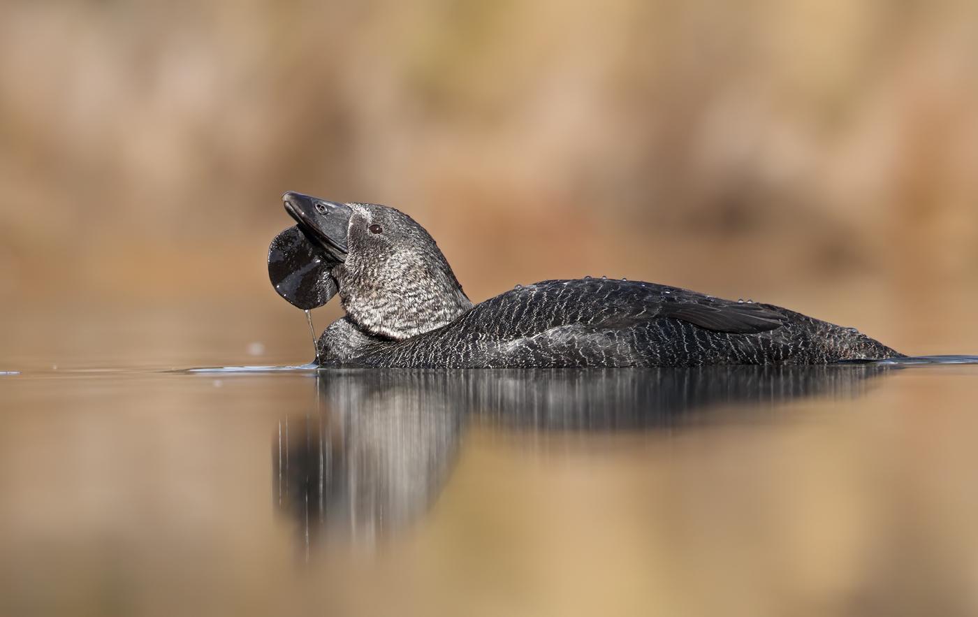 Musk Duck