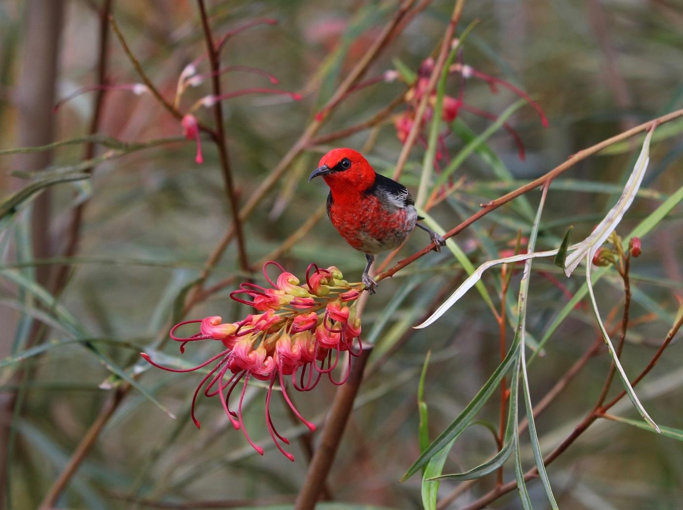 Scarlet Honeyeater (Image ID 31611)