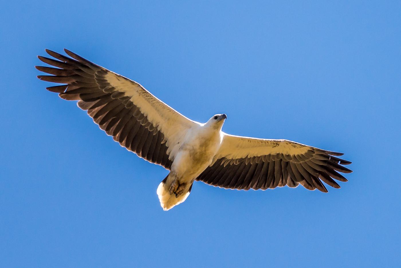 White-bellied Sea-Eagle (Image ID 31525)