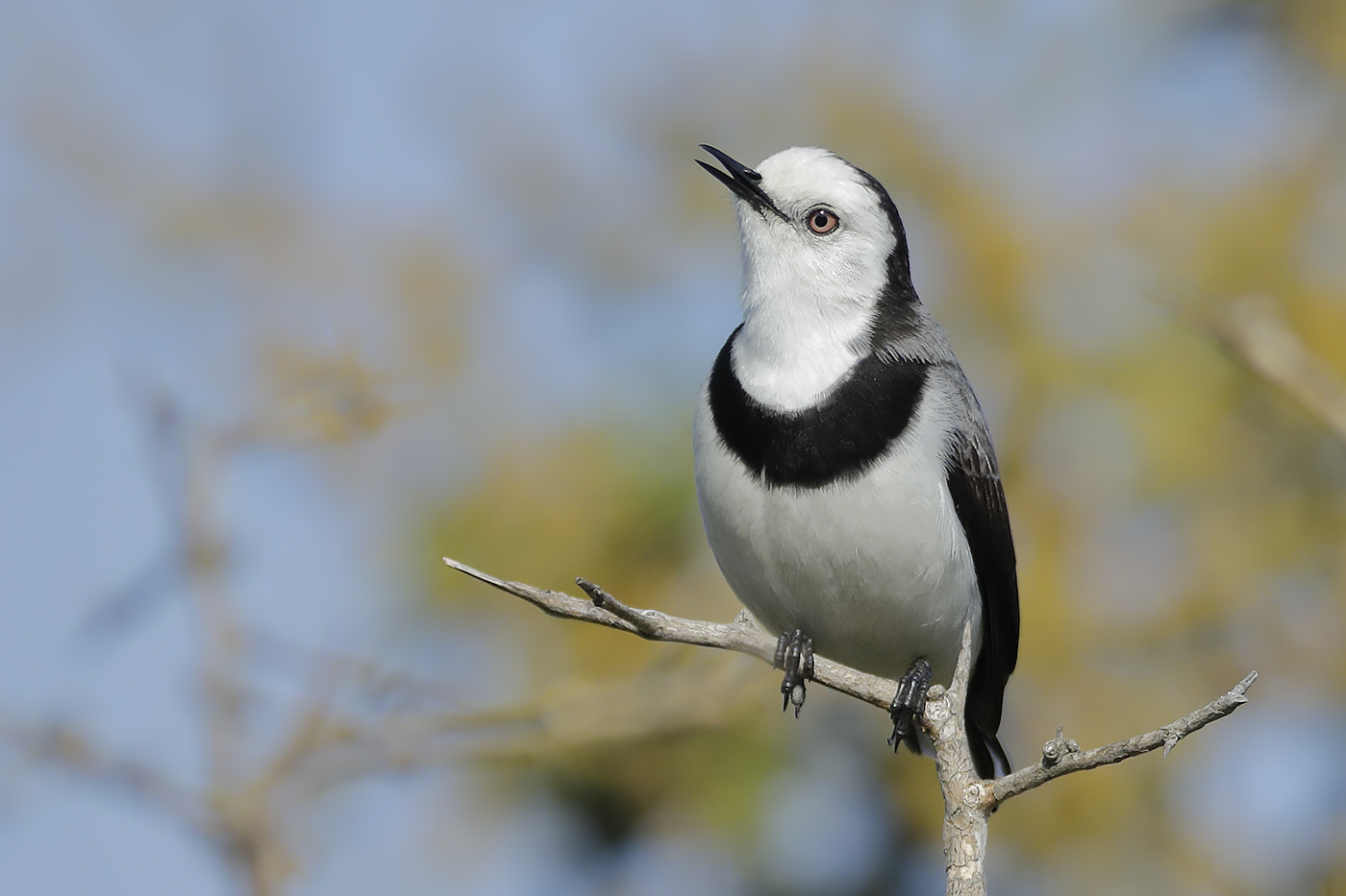 White-fronted Chat (Image ID 31641)