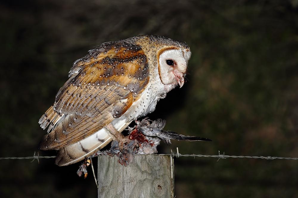 Barn Owl (Image ID 31324)
