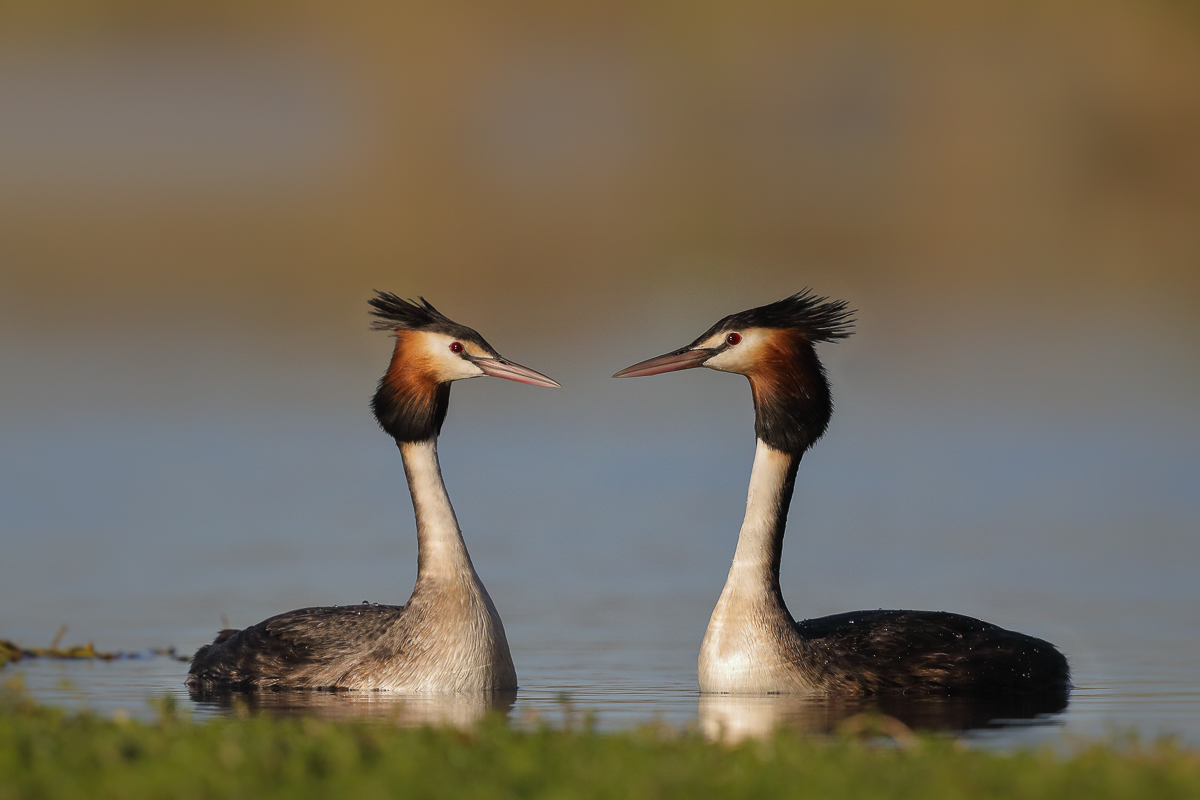 Great Crested Grebe (Image ID 31645)