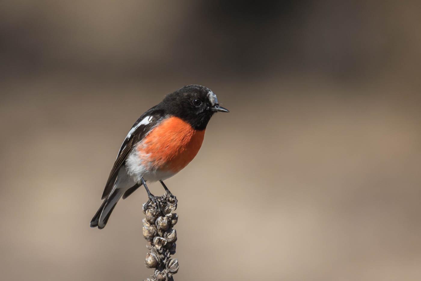 Scarlet Robin (Image ID 31628)