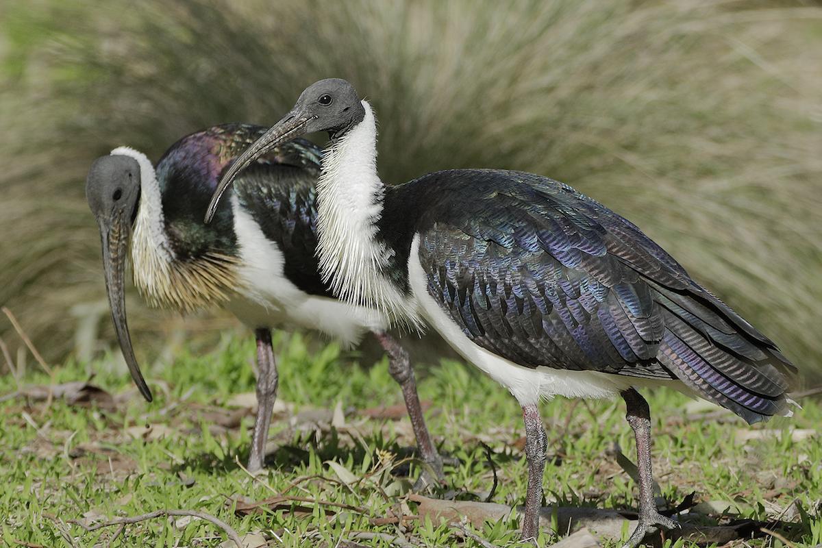 Straw-necked Ibis (Image ID 31272)