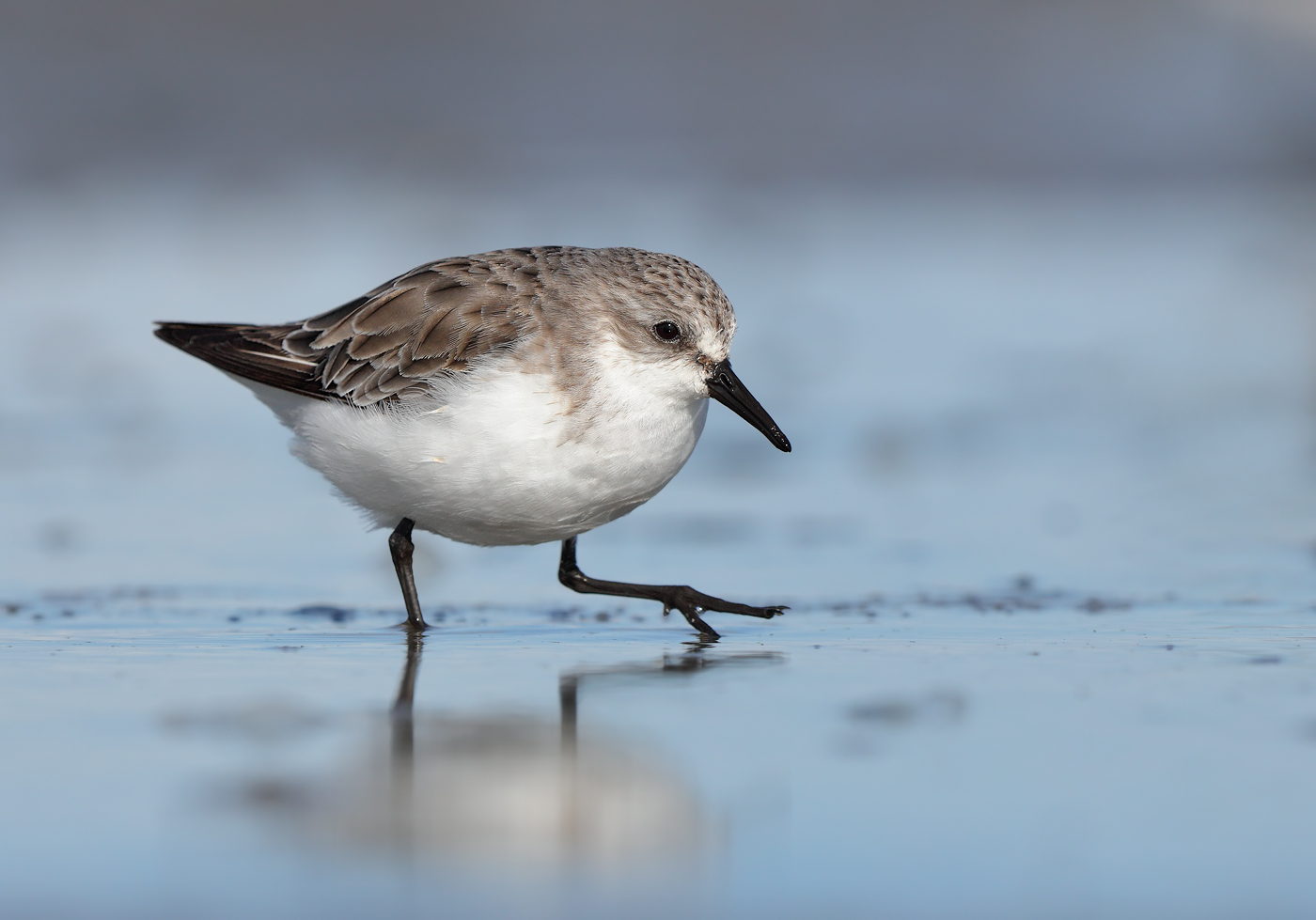 Red-necked Stint (Image ID 31659)