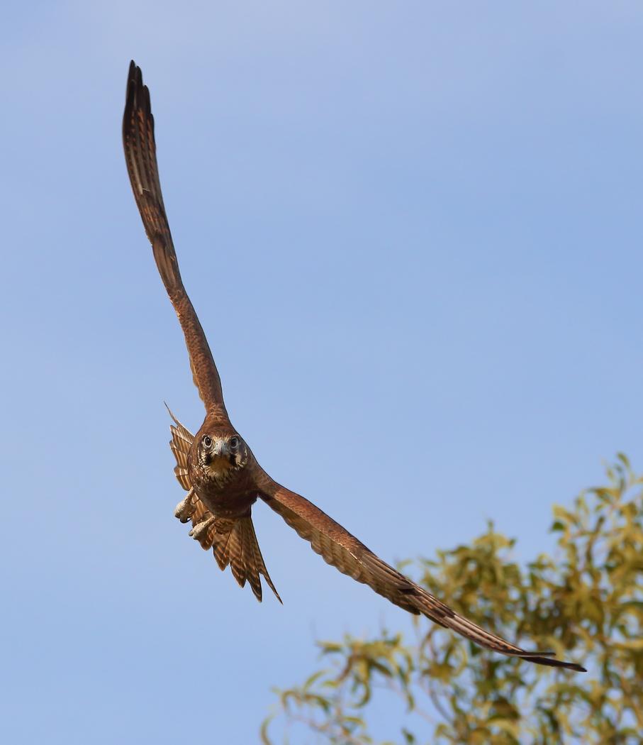 Brown Falcon (Image ID 31675)