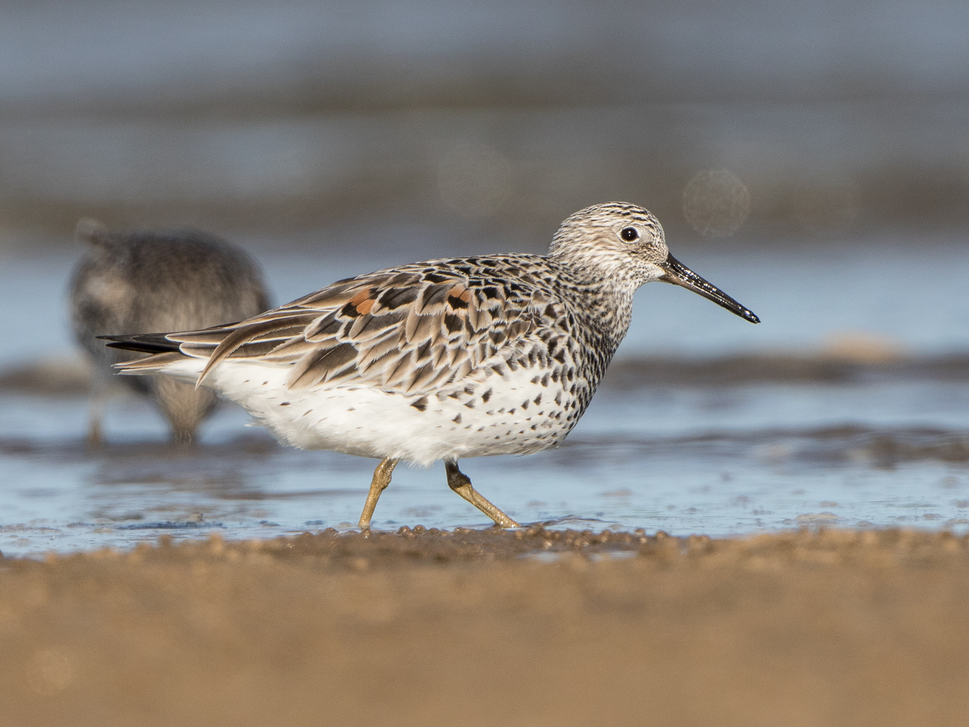 Great Knot (Image ID 31652)