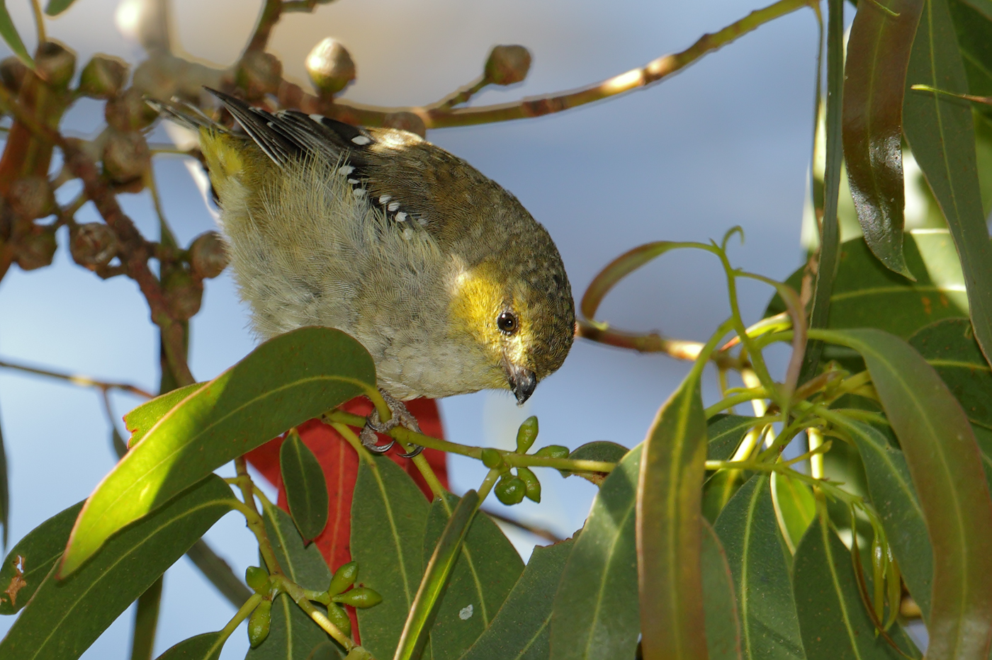 Forty-spotted Pardalote (Image ID 31521)
