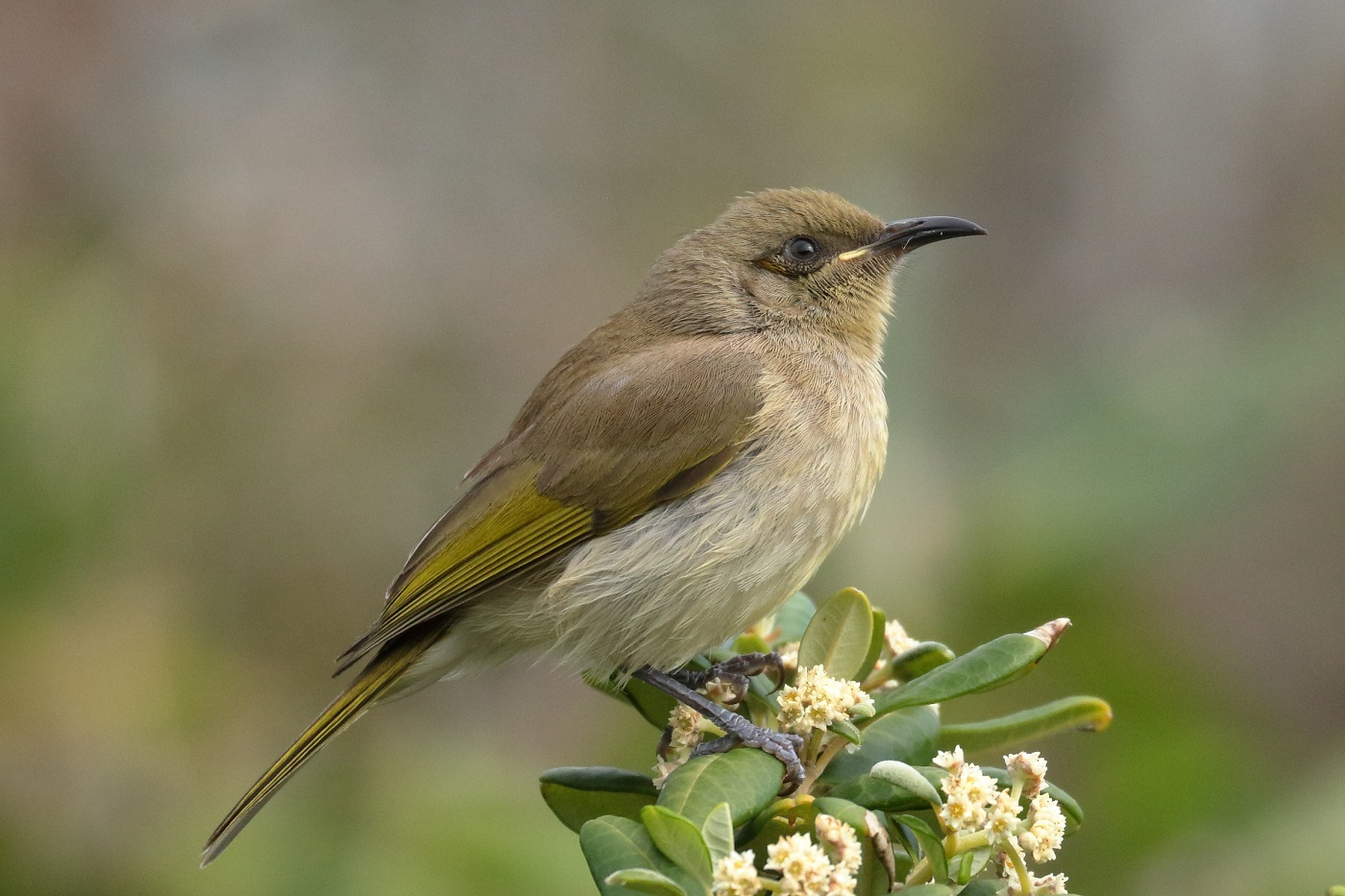 Brown Honeyeater (Image ID 31400)