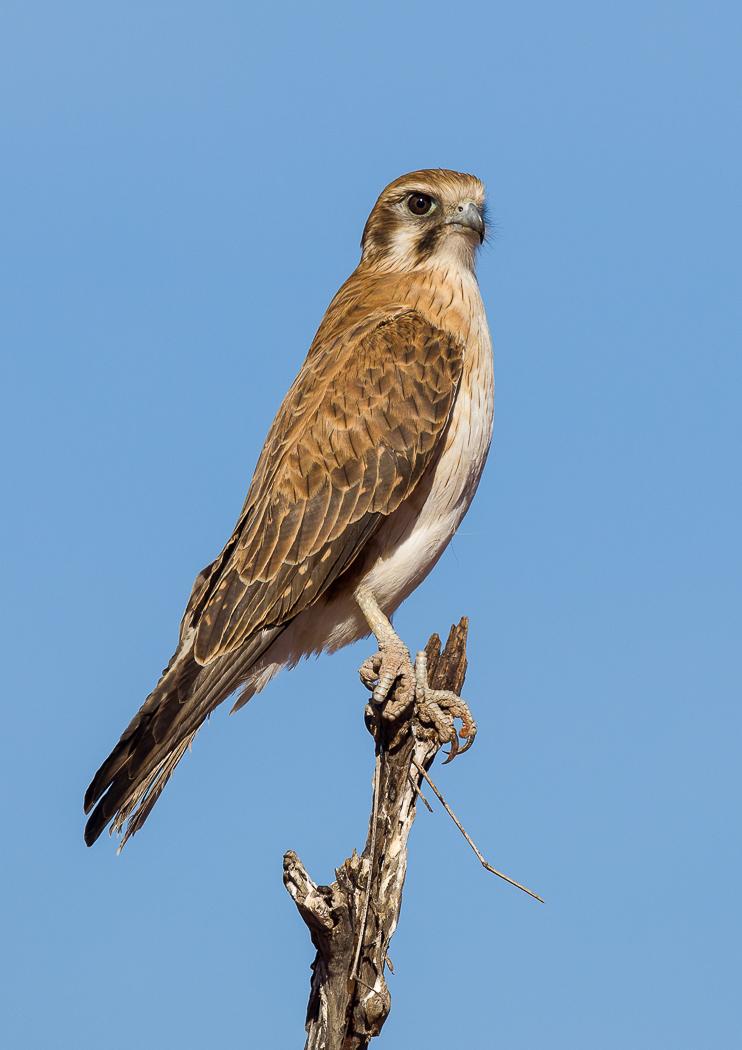 Brown Falcon (Image ID 31417)