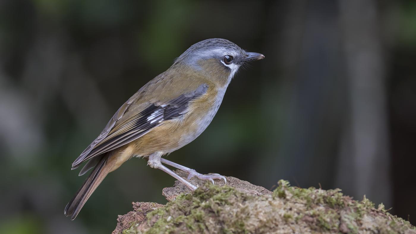 Grey-headed Robin
