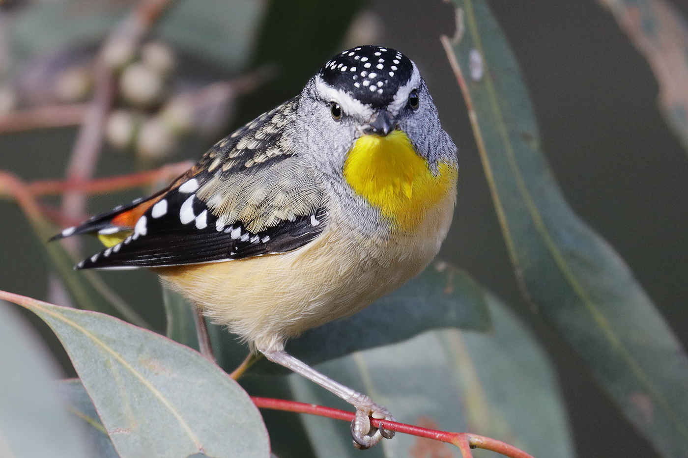 Spotted Pardalote (Image ID 31492)