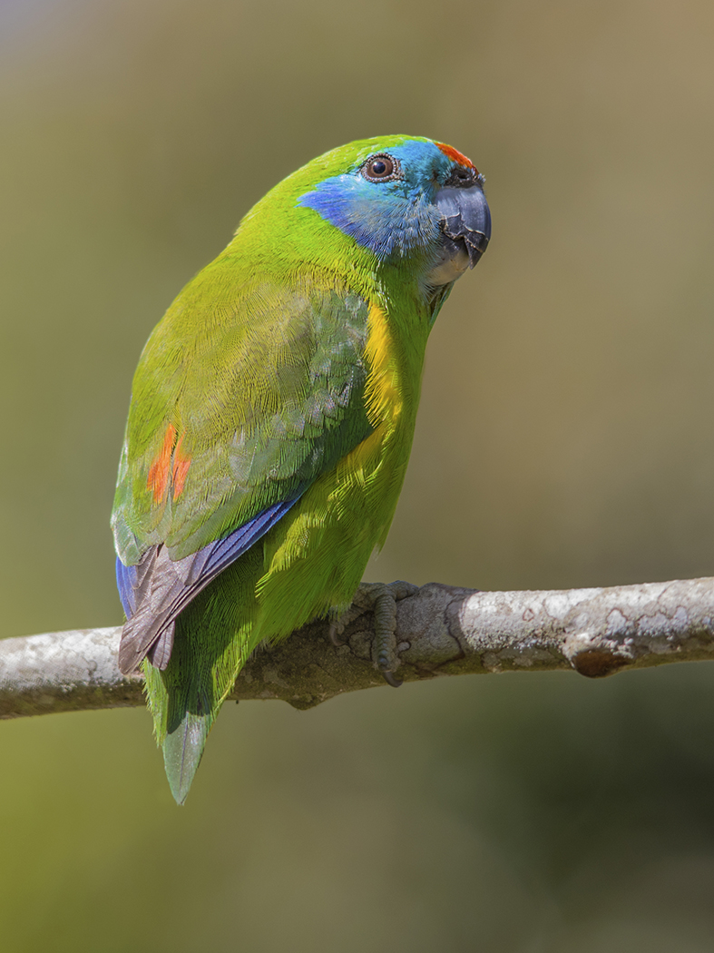 Double-eyed Fig-Parrot (Image ID 31571)
