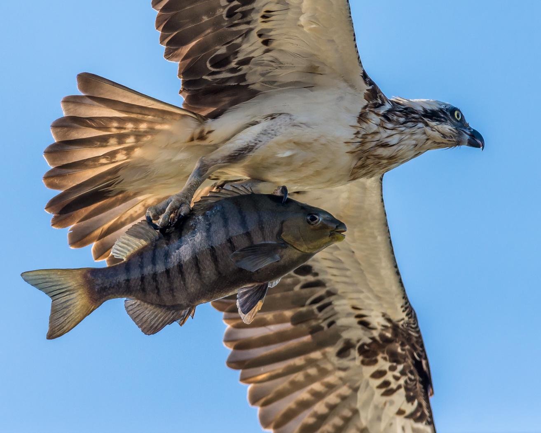 Osprey (Image ID 31523)