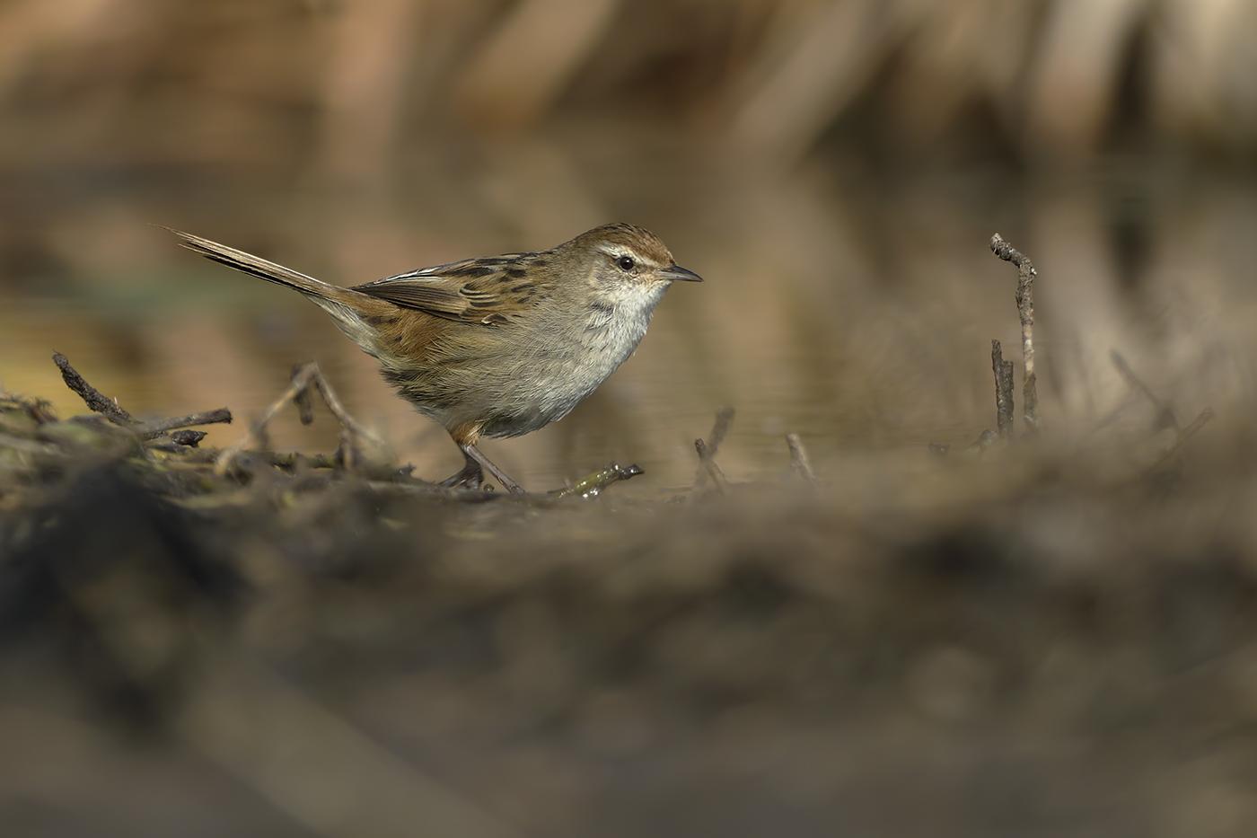 Little Grassbird (Image ID 31607)