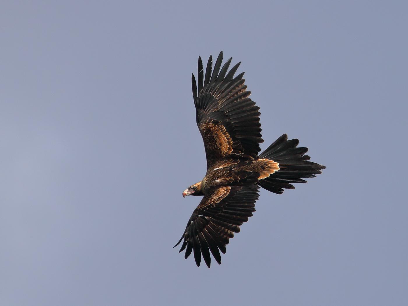 Wedge-tailed Eagle (Image ID 31550)