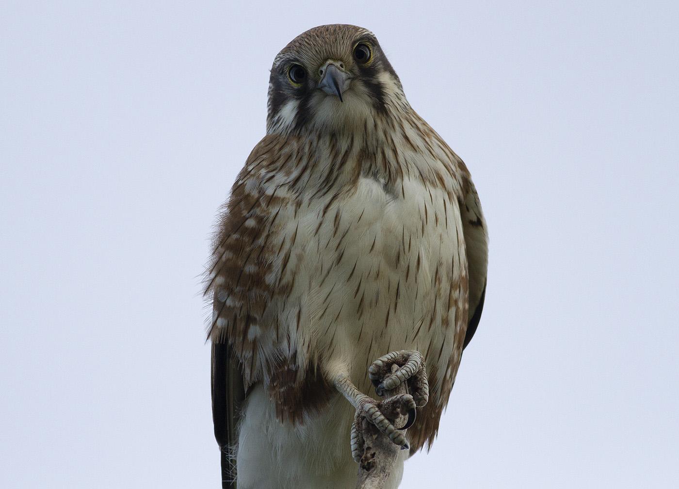 Brown Falcon (Image ID 31567)