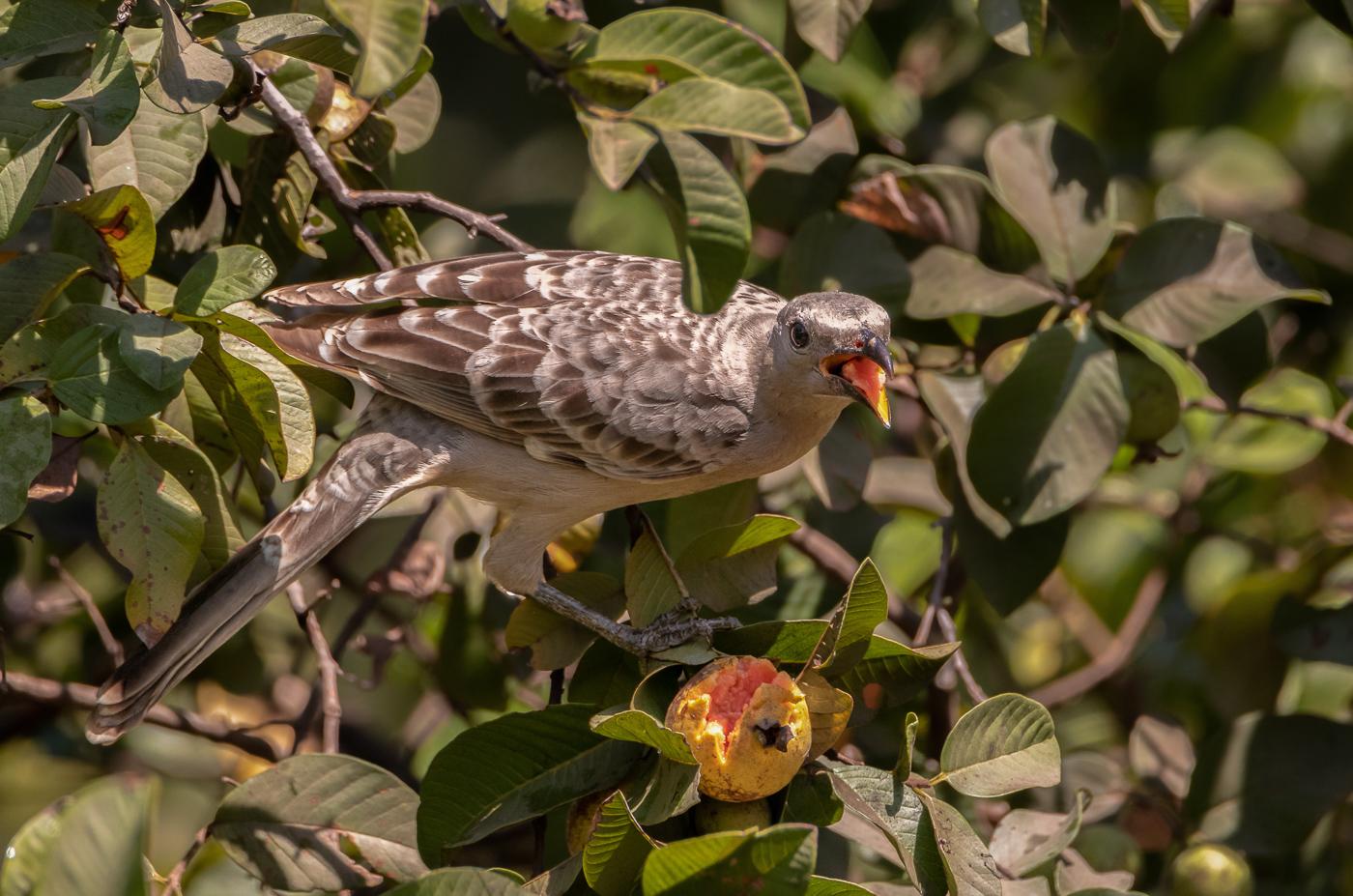 Great Bowerbird (Image ID 31630)