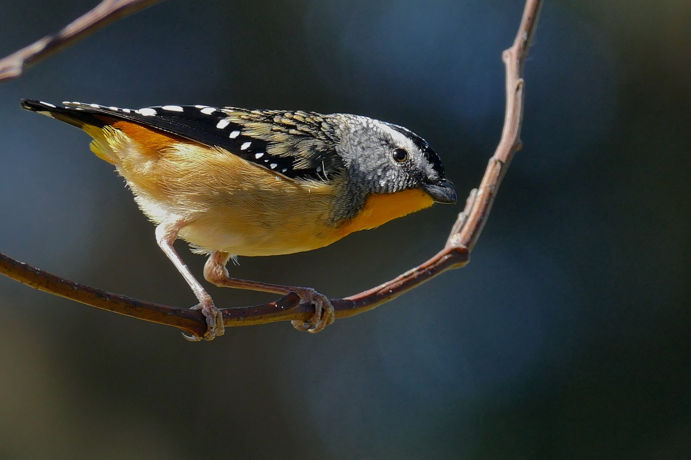Spotted Pardalote (Image ID 31315)