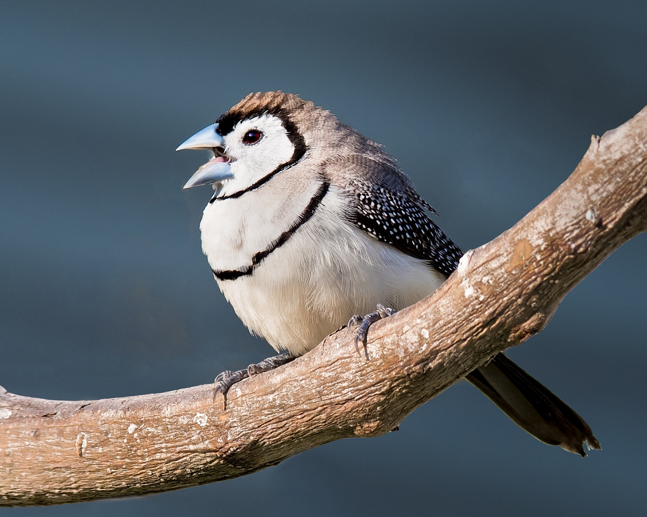 Double-barred Finch (Image ID 31495)
