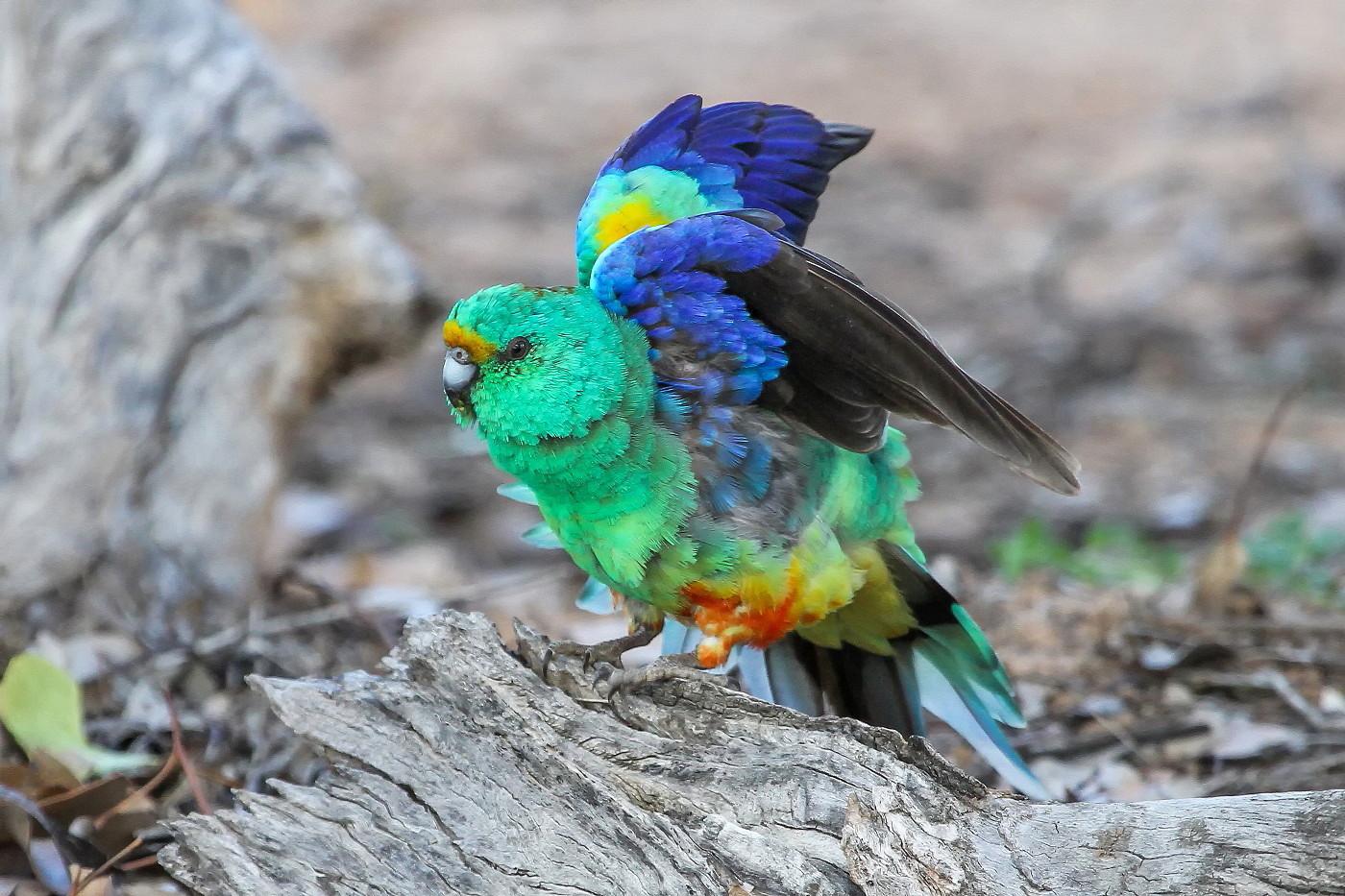 Mulga Parrot (Image ID 31529)