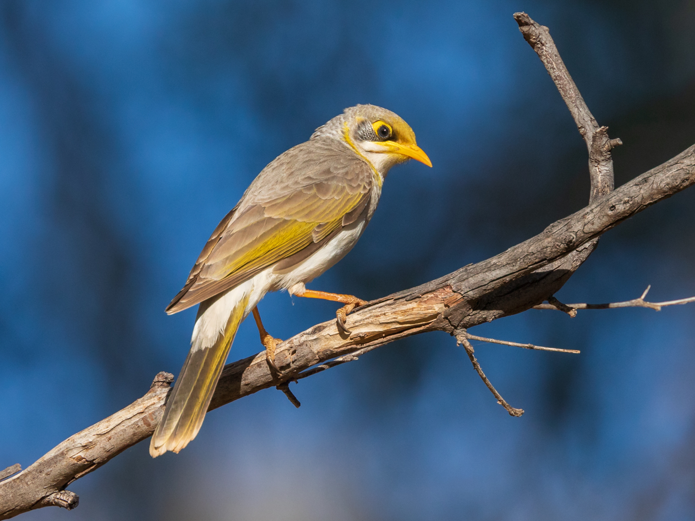 Yellow-throated Miner