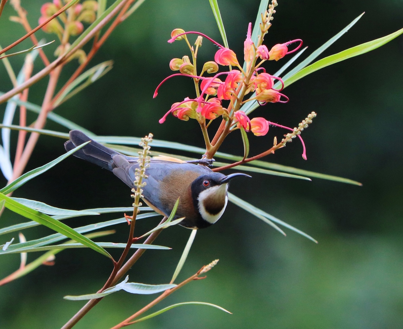 Eastern Spinebill (Image ID 31613)