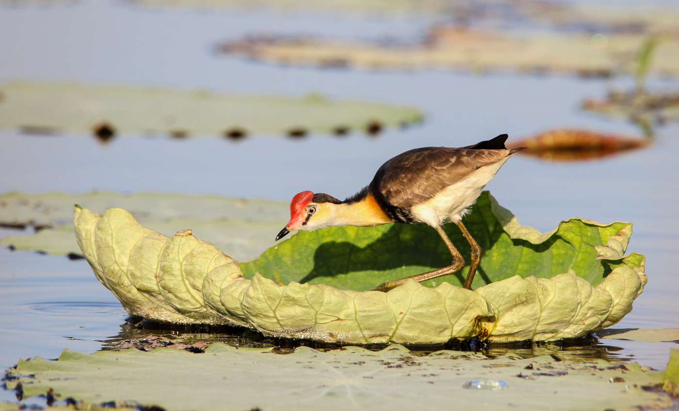 Comb-crested Jacana (Image ID 31563)