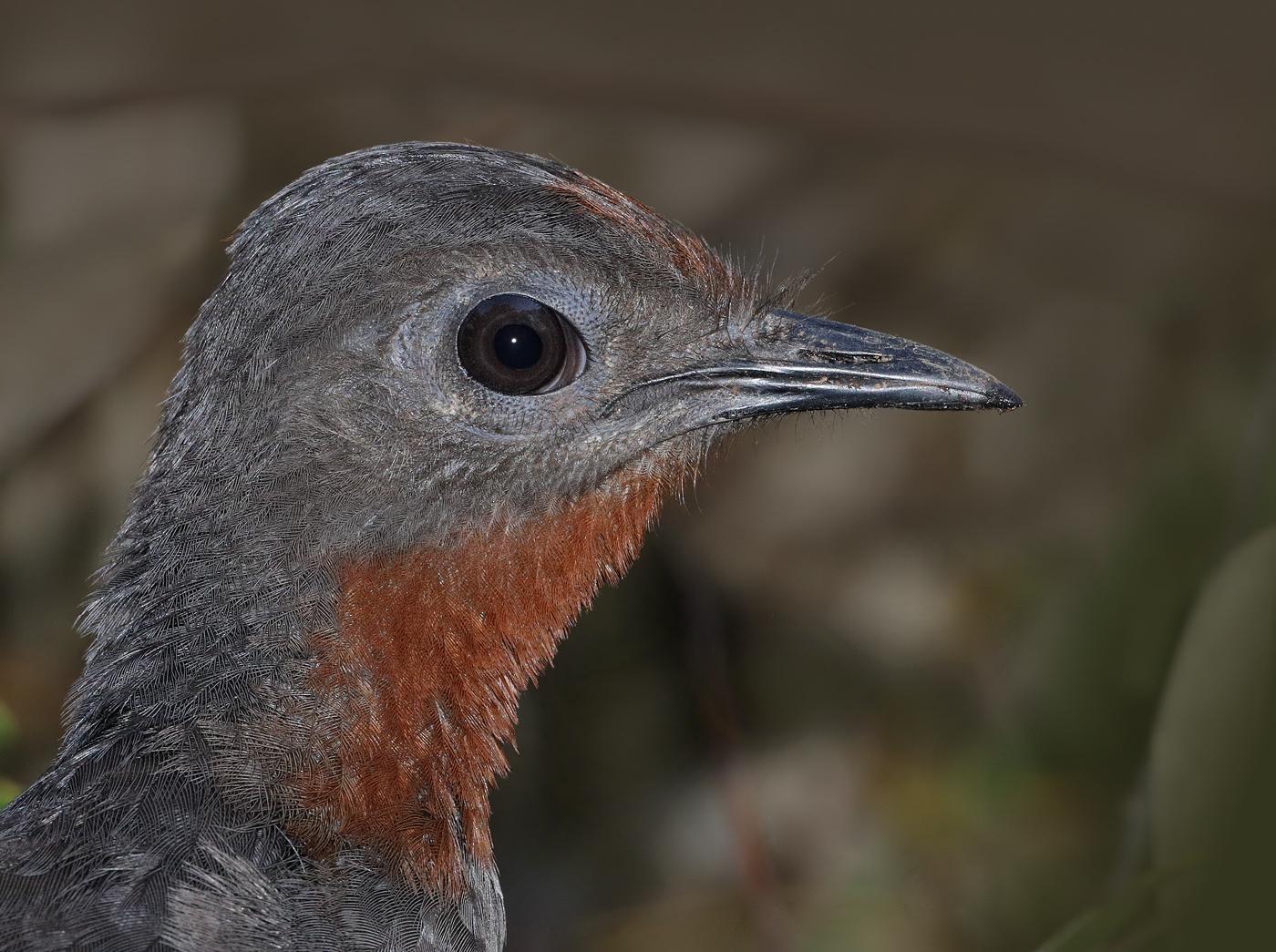 Superb Lyrebird (Image ID 31835)