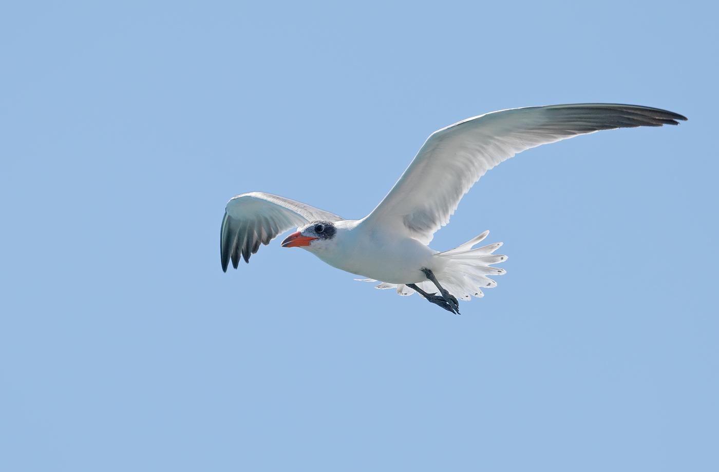 Caspian Tern (Image ID 31884)