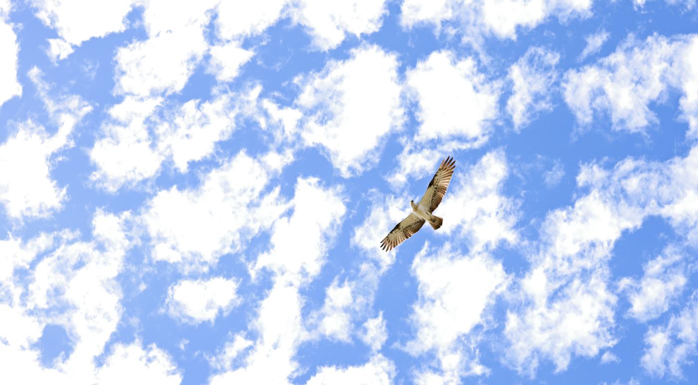 Osprey (Image ID 31919)