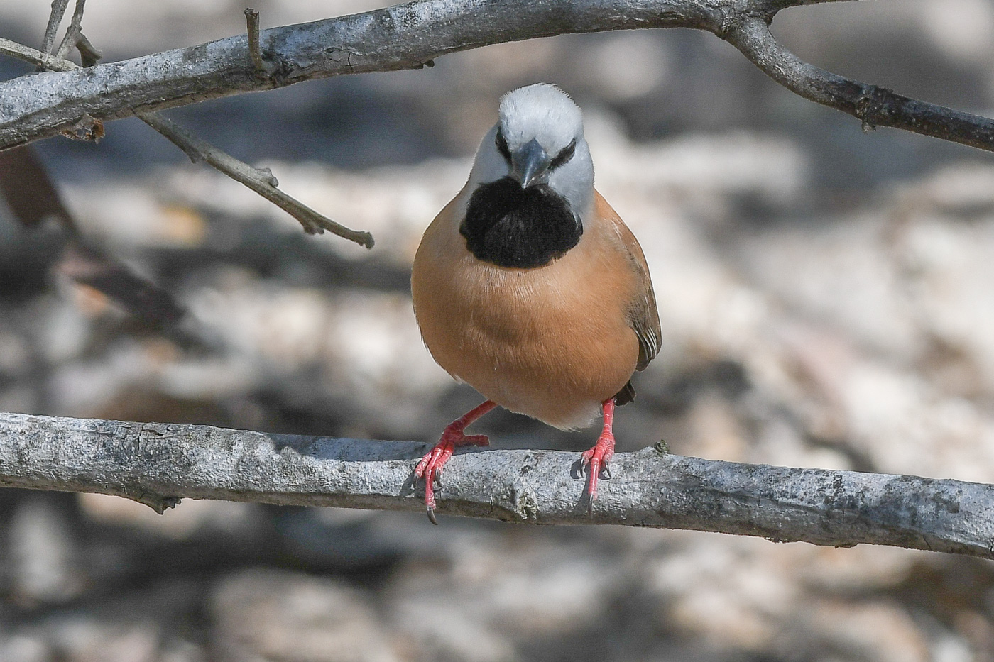 Black-throated Finch (Image ID 31722)