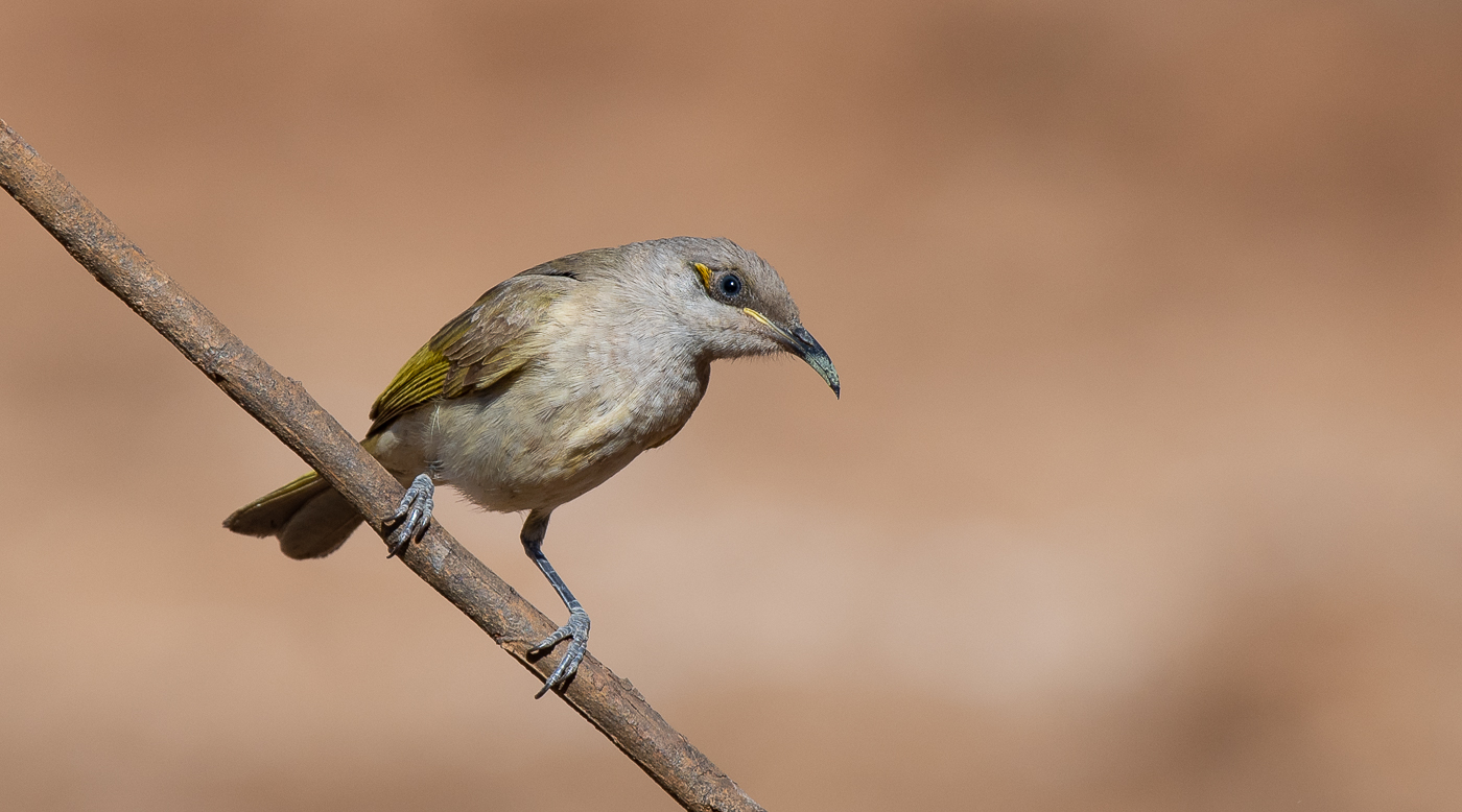 Brown Honeyeater (Image ID 31817)
