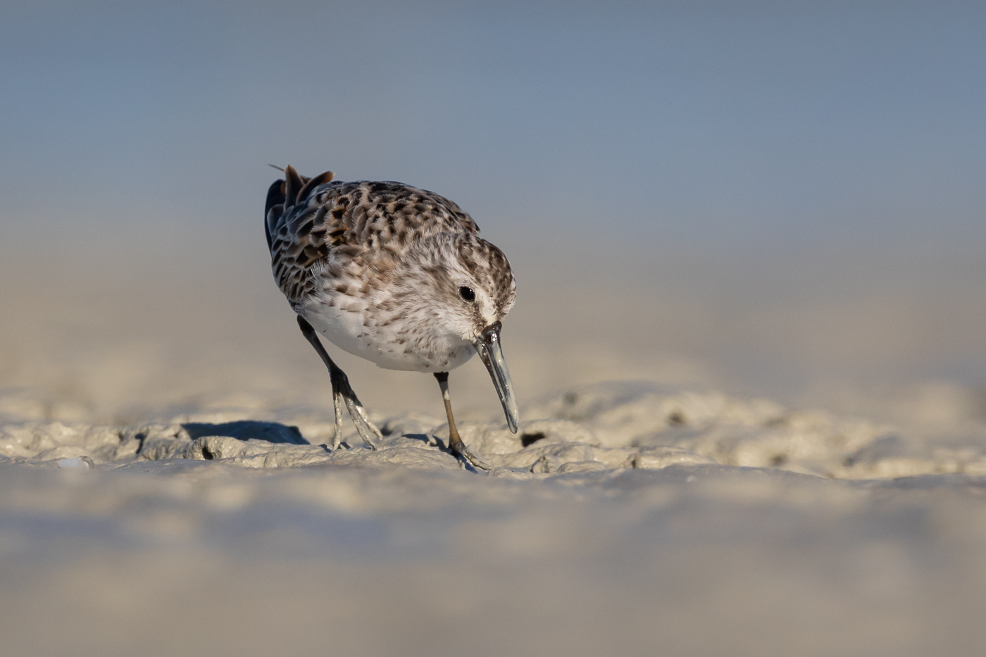 Broad-billed Sandpiper (Image ID 31781)
