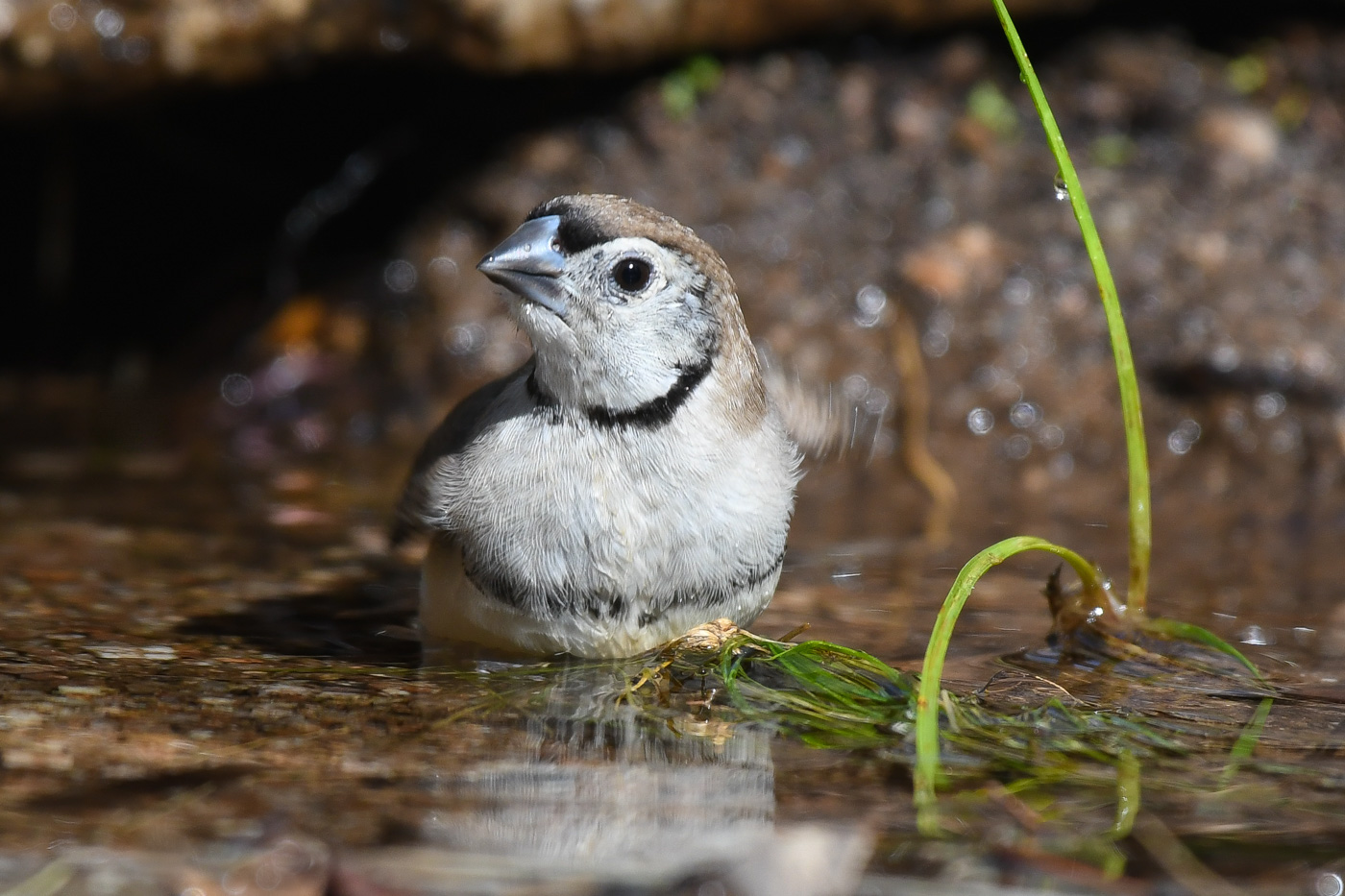 Double-barred Finch (Image ID 31723)