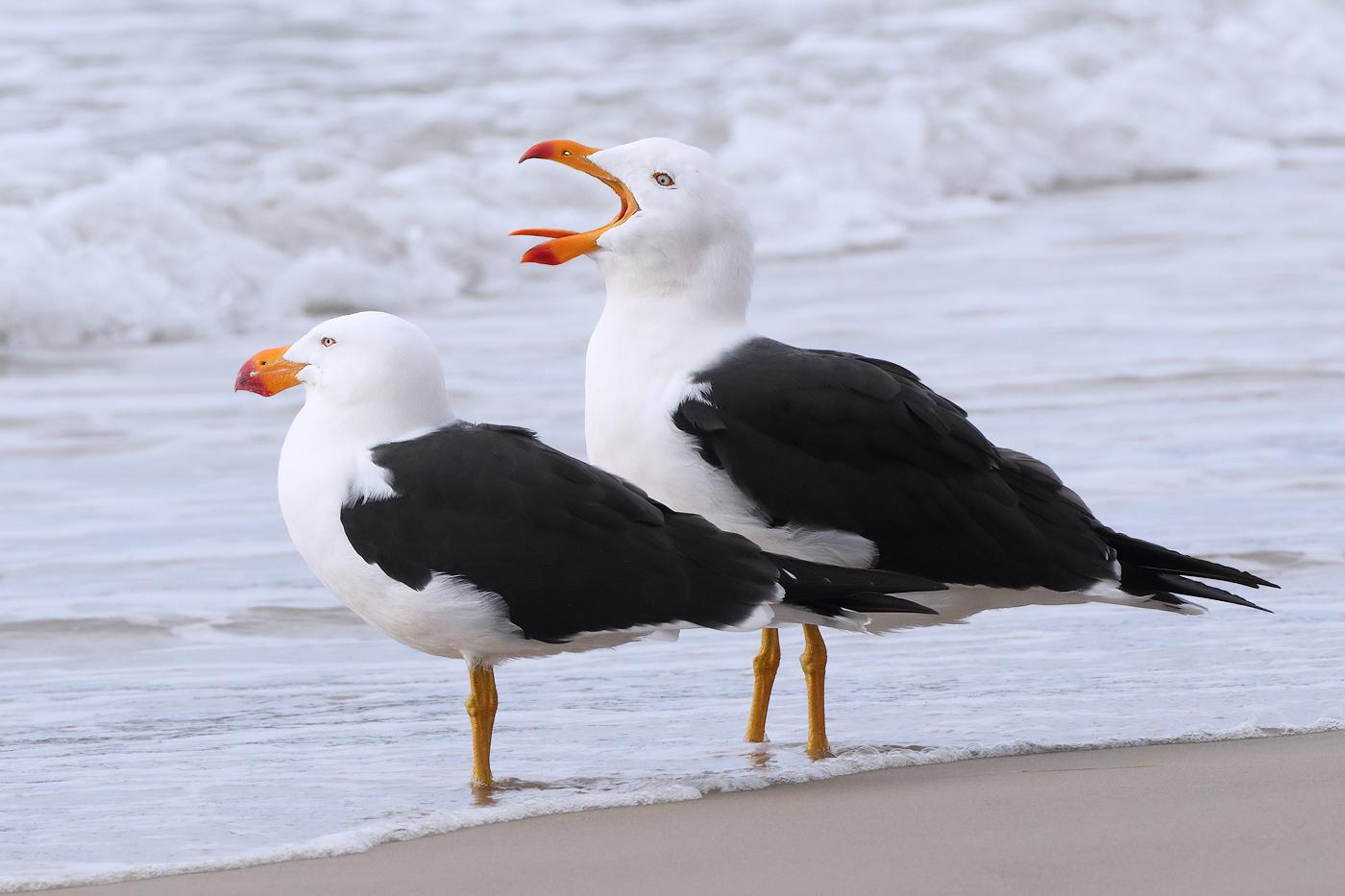 Pacific Gull (Image ID 31810)