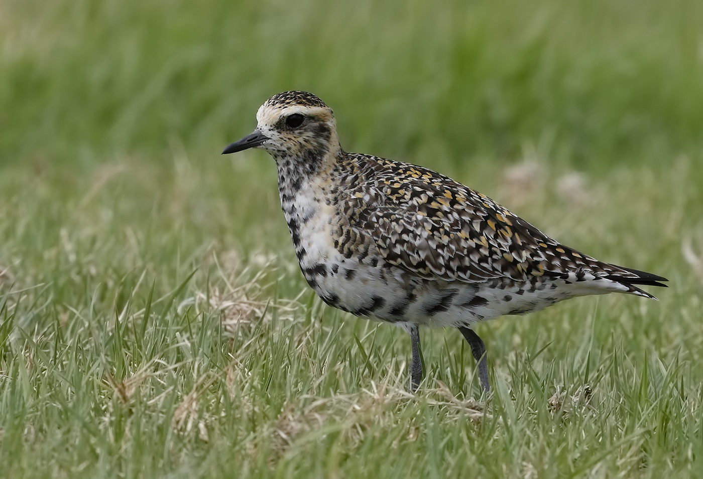 Pacific Golden Plover (Image ID 32049)