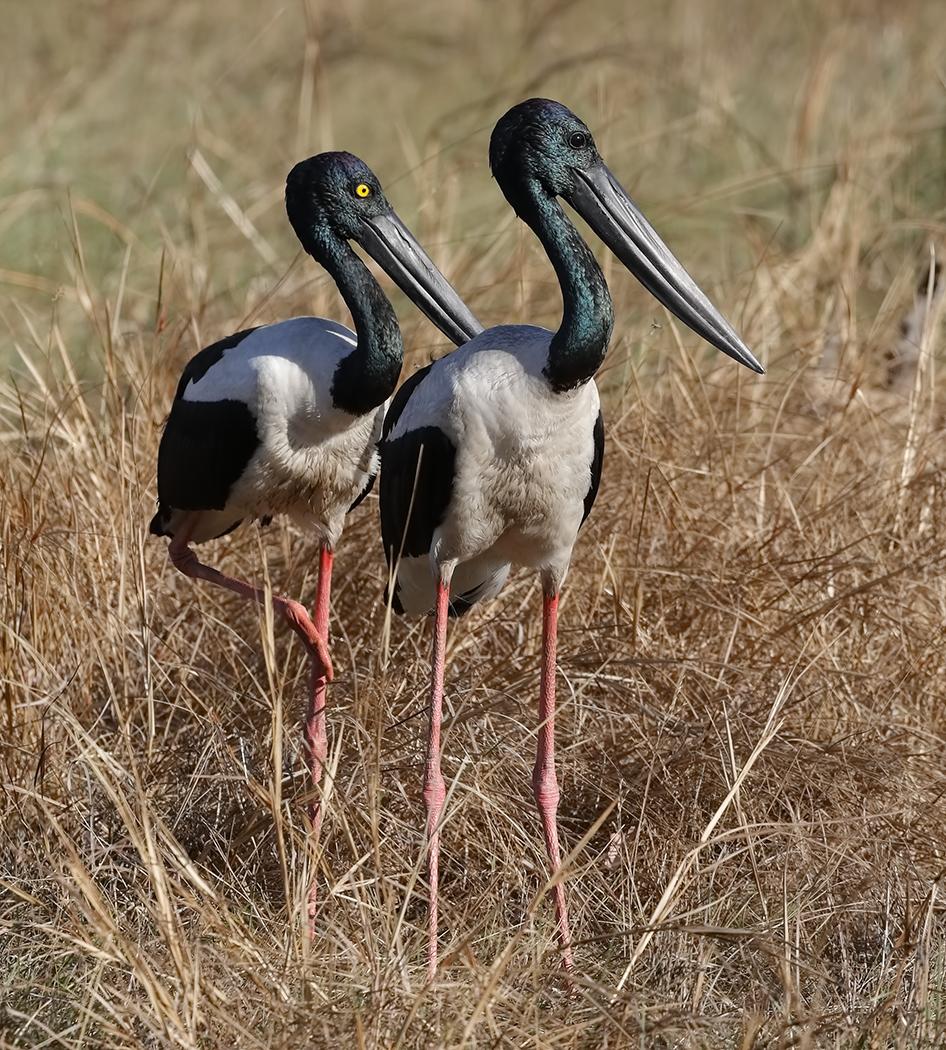 Black-necked Stork (Image ID 31792)