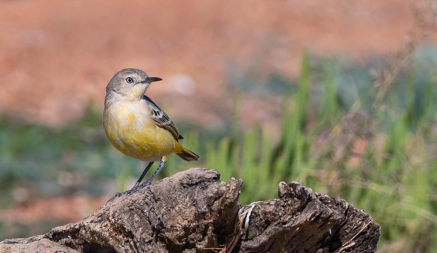 Yellow Chat (Image ID 31945)