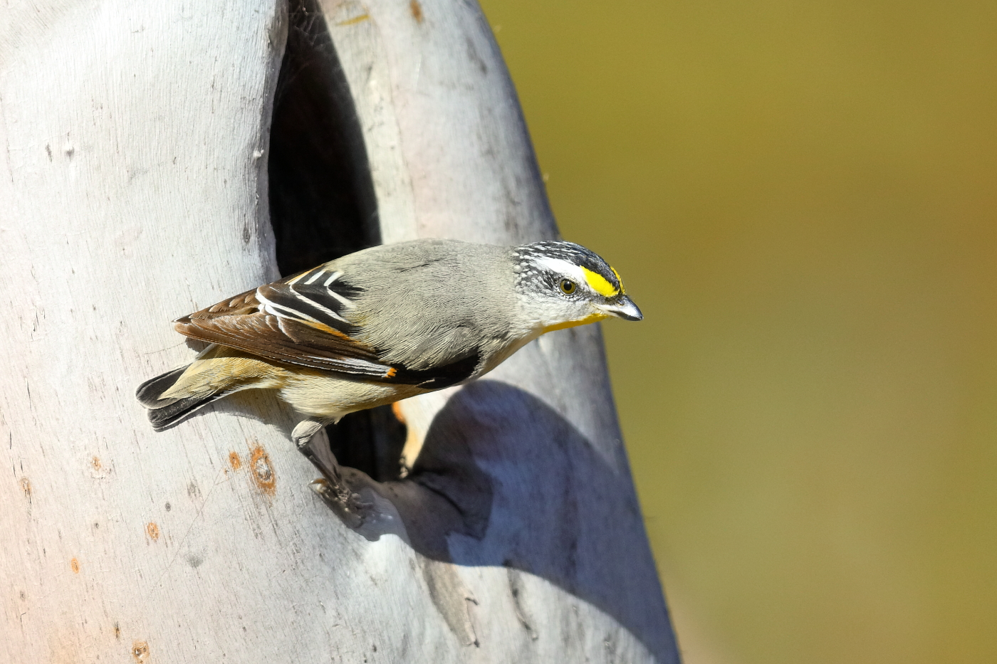 Striated Pardalote (Image ID 31957)