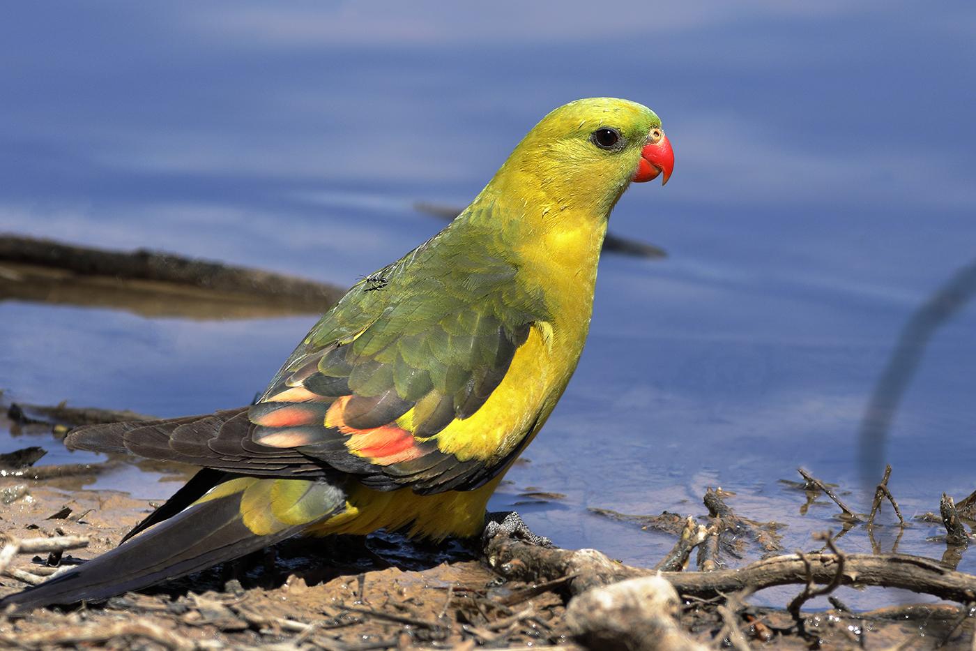 Regent Parrot (Image ID 31971)