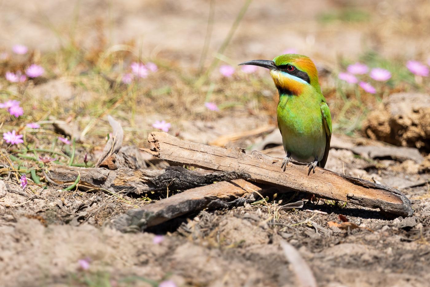 Rainbow Bee-eater (Image ID 32053)