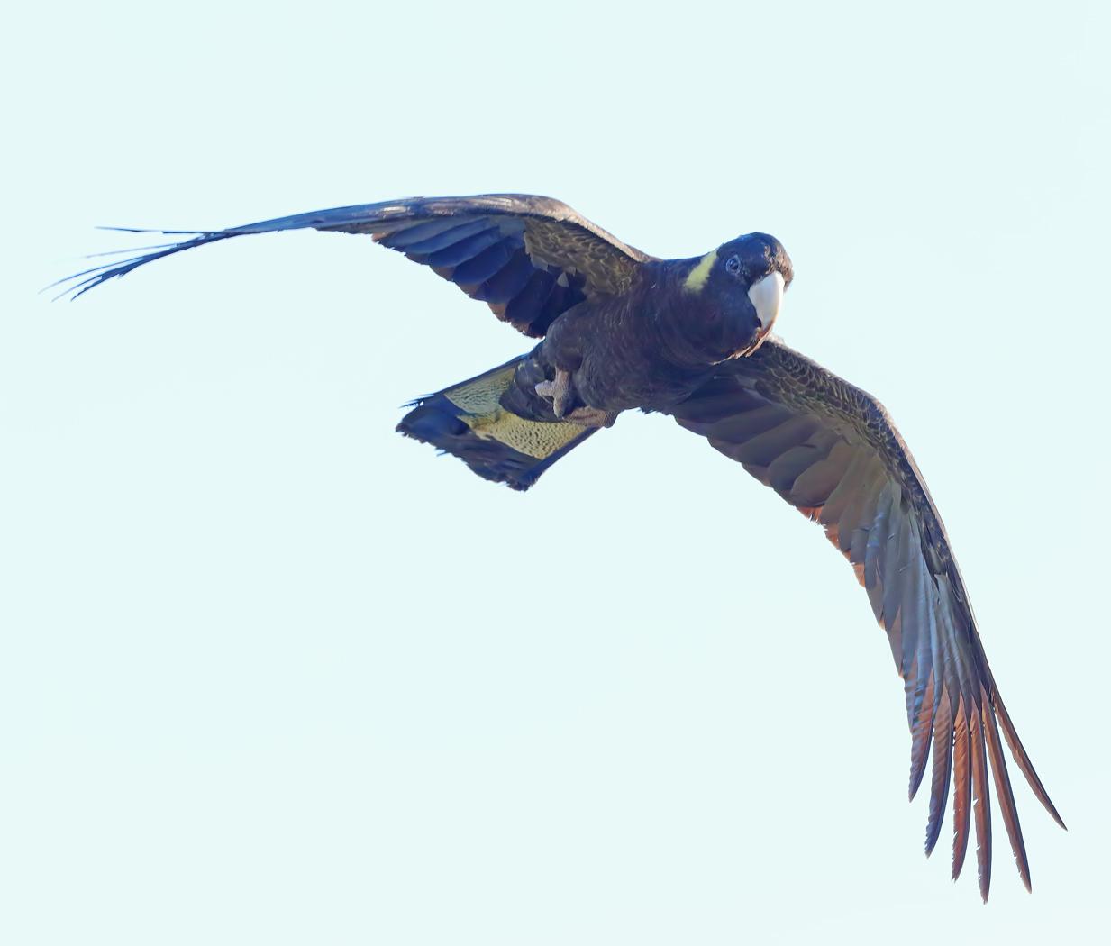Yellow-tailed Black-Cockatoo (Image ID 31870)
