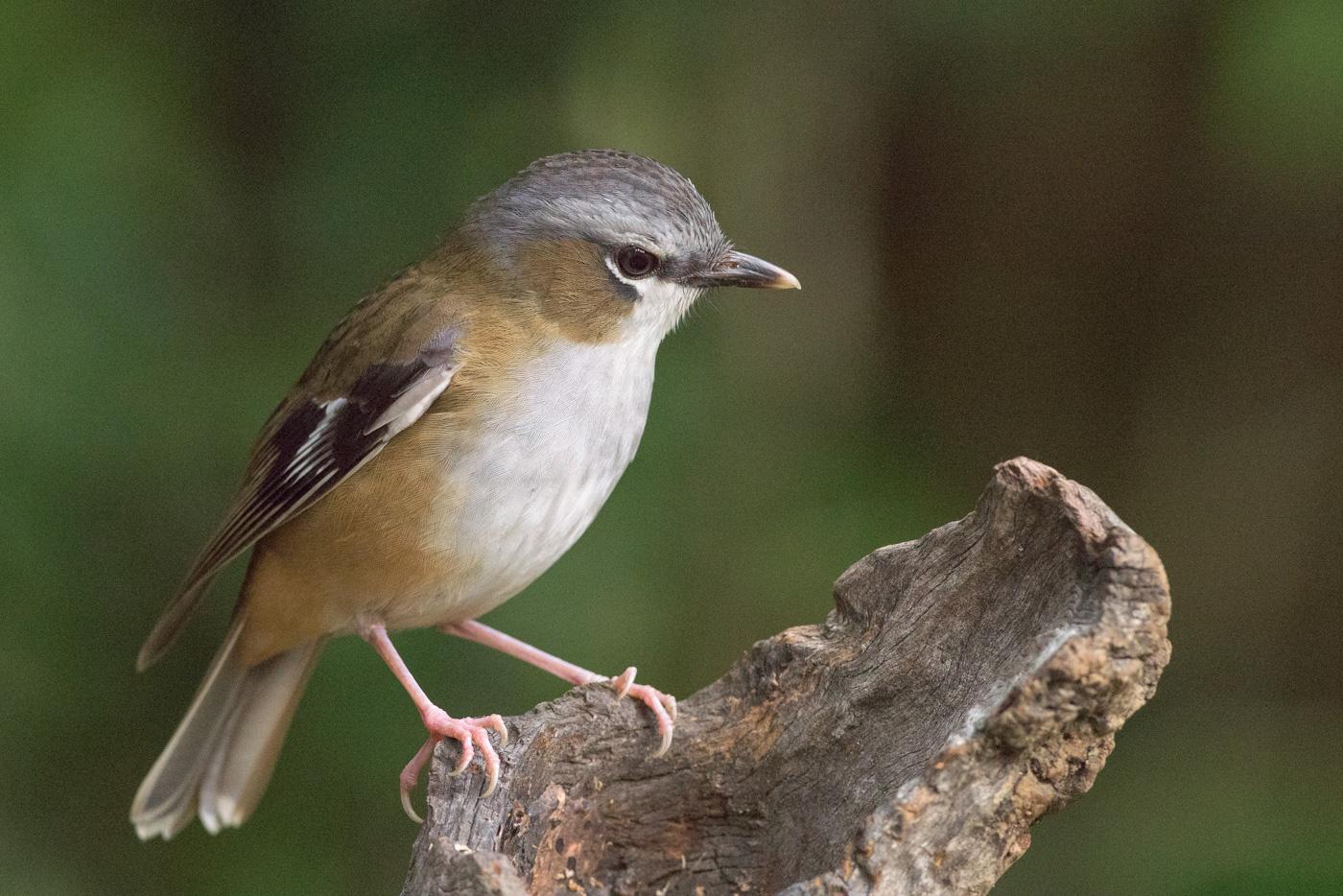 Grey-headed Robin (Image ID 31742)