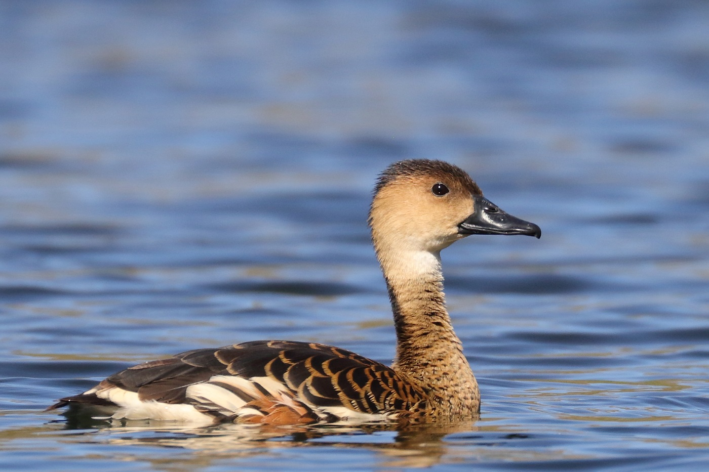 Wandering Whistling-Duck (Image ID 31807)